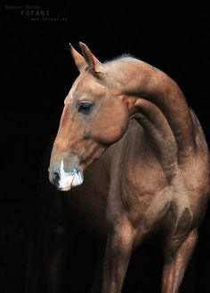 "Akhal Teke with a ""badger face"" marking. Read more about this here: http://equinetapestry.com/2012/08/07/overlapping-and-interacting/"