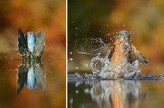 """Após 720.000 cliques, fotógrafo capta a """"foto perfeita"""" de um pássaro"""