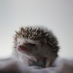 grumpy hedgehog