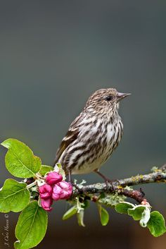 Pine Siskin (Carduelis pinus) a Finch found in North America