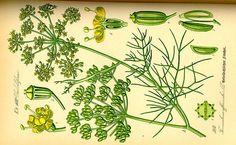 Hildegard von Bingen Rezepte Eingelegter Fenchel mit Kuechenkraeutern als Antipasti