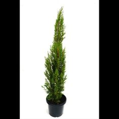 300mm Nitchkes Needle - Cupressus sempervirens Cupressus Sempervirens, Side Yard Landscaping, Cactus Plants, Landscape, Scenery, Landscape Paintings, Corner Landscaping, Cacti