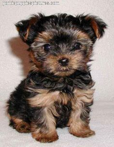 If you don't know a chorkie (chihuahua + yorkie), you should try to meet one :) They're pretty much the best ever!