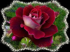 What is the name of this rose? I want it in my new rose garden. Beautiful Flowers Photos, Beautiful Roses, My Flower, Pretty Flowers, Floral Flowers, Red Flowers, Red Rose Pictures, Flower Pictures, Dream Pictures