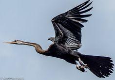 snake bird in flight , via Flickr.