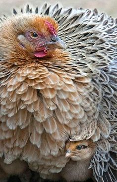 Pretty hen with chick.