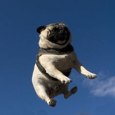 Airborne pug - not sure why the pug is airborne but it's CUTE
