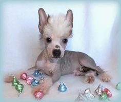 """Hairless Male Chinese Crested Puppy from """"China's Chinese Cresteds"""""""