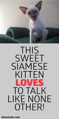 This Sweet Siamese Kitten Loves To Talk Like None Other! <3