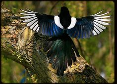 The Magpie by snapdecisions