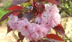 Cerisiers du Japon : prunus