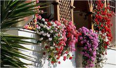 Íme, a titok hogy gyönyörű virágzó muskátlink legyen nyáron