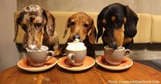 Cat Cafes Are Currently Trending, But #dachshund Cafes Could Be The Next Big Thing