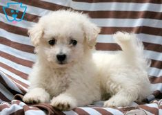 This Bichon puppy is the cutest darn thing you will ever meet! Bichon Puppies For Sale, Cute Baby Puppies, Boxer Puppies, Cute Dogs, Dogs And Puppies, Doggies, Boxer Mix, Beagle Dog, Animals And Pets