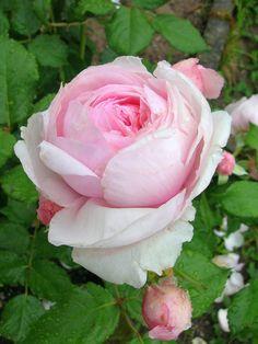 'Geoff Hamilton' | Shrub. English Rose Collection. Bred by David C. H. Austin (United Kingdom, 1997) | Flickr - © Marie-Thérèse