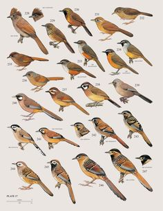 From Biodiversity: A standard for species Thomas M. Brooks & Kristofer M. Helgen Nature 467, 540–541 (30 September 2010) doi:10.1038/467540a illustrated by H. Burn in the Handbook of the Birds of the World