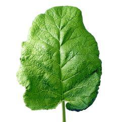 Lopúch - najväčšia liečivá rastlina
