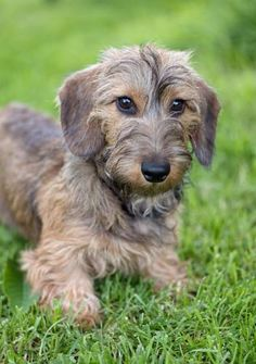 Funny Dachshund, Dachshund Love, Daschund, Cute Funny Animals, Cute Dogs, Scottish Terrier, Dogs And Puppies, Doggies, Dachshunds