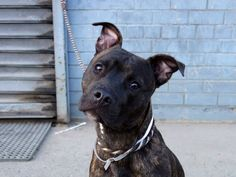 GONE --- Brooklyn Center    ARES - A1003543   NEUTERED MALE, BL BRINDLE / WHITE, PIT BULL MIX, 8 mos  OWNER SUR - EVALUATE, HOLD RELEASED Reason MOVE2PRIVA   Intake condition NONE Intake Date 06/17/2014, From NY 11433, DueOut Date 06/17/2014,   https://www.facebook.com/photo.php?fbid=826152594064288set=a.617941078218775.1073741869.152876678058553type=3theater