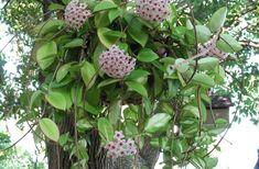  NOME POPULAR: Flor-de-cera, Cerinha, Flor-de-porcelana  .  N. CIENTÍFICO: Hoya carnosa  .  FAMÍLIA: Apocynaceae  .  CATEGORIA: Trepadeiras  .  CLIMA: Equat, Oceânico, Subtrop, Tropical  .  ORIGEM: Ásia, Austrália, Oceania  .  Altura: 3.0a4.7m  .  LUZ: Difusa e meia sombra  .  CICLO DE VIDA: Perene  .  FLORAÇÃO: primavera  .  CUIDADOS: rústica, crec lento, luz indireta, regas frequentes e drenagem, sem vento, adubações na floração, não tolera calor  .  MULTIPLICAÇÃO: estaquia ou alporquia 