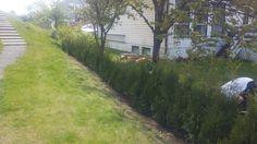 36 thujaplanter satt sammen til en 15 m Thujahekk