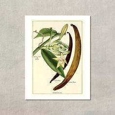 Vanilla Plant Botanical Print 1915  8.5x11 by TwoDovesPrinting