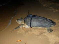 Last August we fitted satellite tags to two nesting females, Manbiri and Yurrwa, before they returned to the water, and we've been following them ever since. http://blog.parksaustralia.gov.au/2015/02/14/how-far-does-a-flatback-turtle-swim/