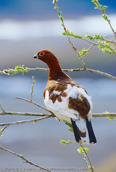 Male Willow Ptarmigan perches in the branch of a willow tree in spring, Denali National Park, Alaska