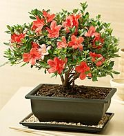 Azalea Bonsai How cute is that I have to have one
