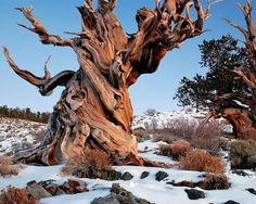 An ancient bristle cone pine tree in snowy desert in the White Mountains of California.. This tree is called the Methusaleh Tree and is approximately 5,000 years old