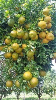 Mandarin oranges in my garden by Stefan King SK. Fruit Plants, Fruit Garden, Garden Trees, Fruit Trees, Trees To Plant, Fresh Fruits And Vegetables, Fruit And Veg, Fruit Bearing Trees, Fruit Photography