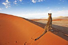 Photograph Of Cheetah Namibia Predator Africa - http://www.petandanimals.com/photograph-of-cheetah-namibia-predator-africa/