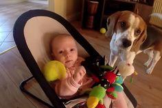 Beagle ruba gioco a bimba e poi ha dei terribili rimorsi! - http://www.ahboh.it/beagle-con-rimorsi/
