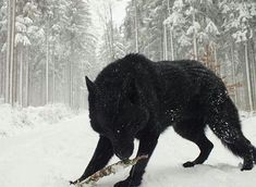 A Black Wolf.<<<<< it kinda looks like a mix of wolf and a bear Wolf Spirit, Spirit Animal, Beautiful Creatures, Animals Beautiful, Tier Wolf, Largest Wolf, Animals And Pets, Cute Animals, Wild Animals