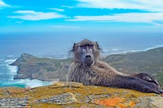 A baboon 'photobombs' a beautiful landscape photo in Cape Point, South Africa. The playful animals had been monkeying around at Cape Point, the southern tip of Cape Peninsula in South Africa, and putting on a show for tourists Banff National Park, National Parks, Cape Town South Africa, Viewing Wildlife, Baboon, Landscape Pictures, Beautiful Landscapes, Animal Photography, Trekking