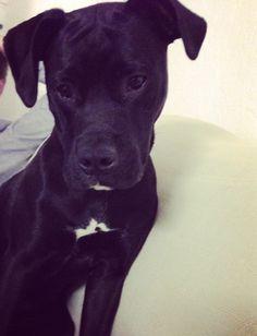 Besties, Boxer, Pitbulls, Dogs, Animals, Animales, Animaux, Doggies, Boxers