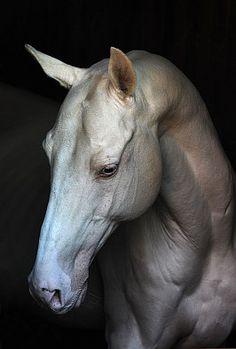 Horse Info Page - Alania Stud Most Beautiful Horses, All The Pretty Horses, Horse Photos, Horse Pictures, Arte Equina, Akhal Teke Horses, Horse Anatomy, Cute Horses, Majestic Horse