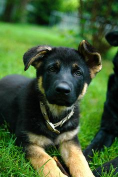 I want a German shepherd pup like him