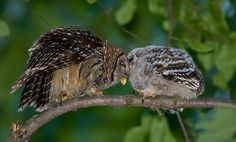 Barred owl mother and chick, just after the chick fledged
