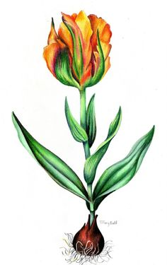 botanical drawing of tulip by Tiffany Budd. Welcome to my gardening blog http://www.facebook.com/flowerindoorgardening #tulip  #flower #bulb