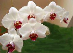 Il bianco, uno degli splendidi colori della orchidea. www.profumissimaonline.com