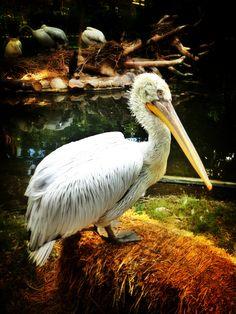 Viennas Pelican. Vienna, Most Beautiful, Old Things, World, Animals, Animales, Animaux, Animal, The World