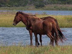 Wild horses; Assateague Island National Seashore; Maryland (pinned by haw-creek.com)