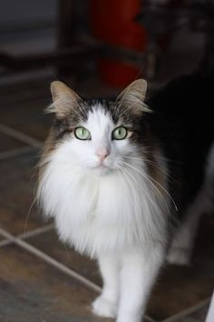 Amazing cat with beautiful green eyes.