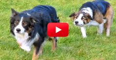 I Didn't Think This Video Of Sneaky Border Collies Could Get Any Better, But I Was Wrong! The 1:35 Mark Had Me Laughing Out Loud! | The Animal Rescue Site Blog