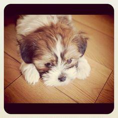 andy boy shichon puppy instagram app