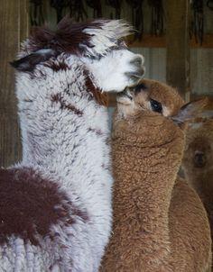 more alpaca love Farm Animals, Animals And Pets, Funny Animals, Cute Animals, Alpaca Animal, Alpaca Stuffed Animal, Llamas, Cute Fluffy Puppies, Llama Llama