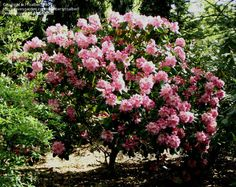 PlantFiles Pictures: Dexter Rhododendron 'Scintillation' (Rhododendron) by saanansandy