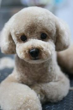Cute Animals - The poodle is one of the most popular breeds in Japan. The teddy bear clip is the main poodle hairstyle. Dog Grooming Styles, Poodle Grooming, Pet Grooming, Poodle Cuts, Poodle Mix, Cute Puppies, Cute Dogs, Dogs And Puppies, Corgi Puppies
