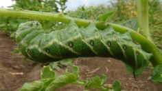 Garden Tomato Horn worm might be cute and cuddly looking, but are harmful insects to tomatoes.